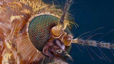Photo of Бактерия против вирусов: как помешать комарам инфицировать людей?