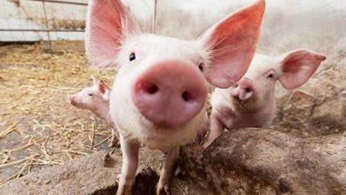 Photo of Новый способ лечения переломов испытали на свиньях
