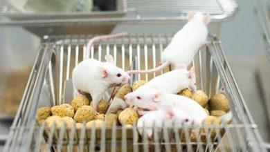 Photo of Ученые имплантировали мышам функционирующие 3D-яичники
