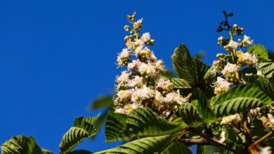 Photo of Цветет каштан: готовим лечебное средство от геморроя и для суставов