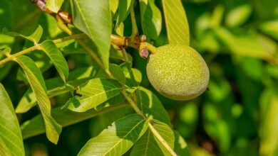 Photo of Зеленые грецкие орехи: успеем собрать и сделать «снадобье» для иммунитета