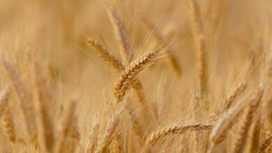 Photo of Рецепт долгожителей: разгрузочный день на пшенице