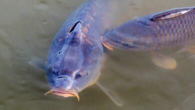 Photo of Речные раки могут «кишить» паразитами: как уберечься от заражения