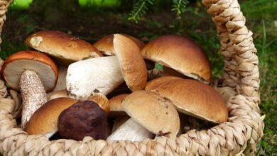 Photo of Чтобы не отравиться: собираем и готовим грибы правильно