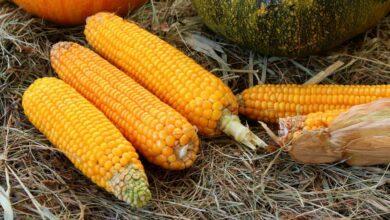 Photo of Диетолог назвал неожиданную пользу кукурузы