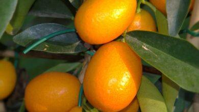 Photo of «Золотой апельсин»: как кумкват борется с раком, заживляет раны, помогает ЖКТ