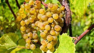 Photo of Как выбрать безопасный и полезный виноград: рассказывает специалист