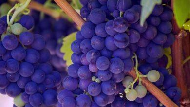 Photo of Эксперт рассказал о скрытой опасности винограда