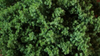 Photo of Можжевельник обыкновенный: используем от женских и мужских болезней
