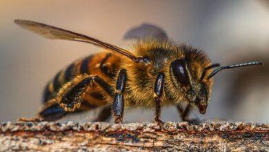 Photo of Пчелиный яд убивает агрессивные клетки рака груди: исследование