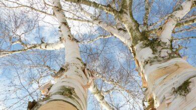 Photo of Березовый гриб: древесный паразит или лекарство будущего