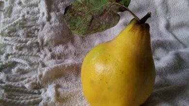 Photo of Айва: любимый фрукт долгожителей и помощь при кашле