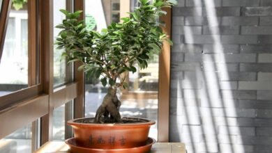 Photo of Мирт: дерево невест и душистый лекарь в доме