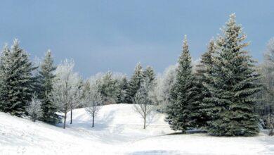 Photo of Экстракт, освежитель воздуха, зимнее варенье: натуральные домашние средства из хвои